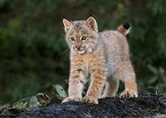 У київському зоопарку поповнення – народилося рисеня - фото