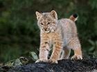 У київському зоопарку поповнення – народилося рисеня
