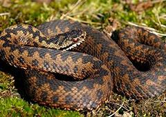 На Івано-Франківщині почастішали випадки укусів людей зміями - фото