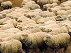 На Луганщині окупанти розстріляли отару овець, більшість туш забрали