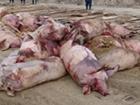 Під Києвом спалах африканської чуми свиней