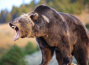 Втікаючи від ведмедя, поліцейський застрелив брата - фото