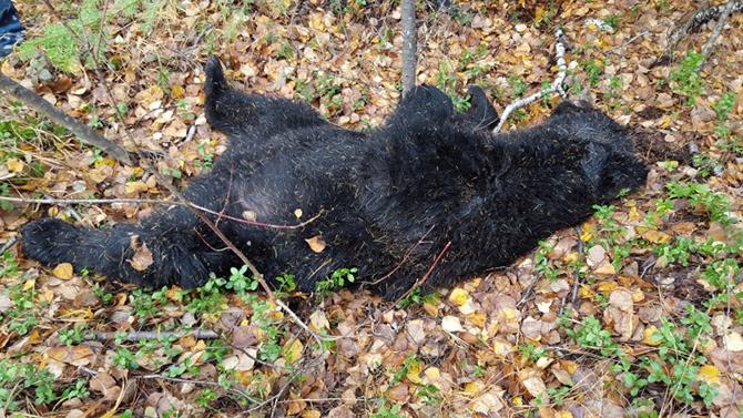 В Хабаровському краю мисливець та ведмідь вбили один одного - фото