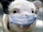 У Шостці зафіксовано спалах африканської чуми свиней
