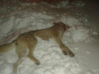 На Чернігівщині на чоловіка напав скажений вовк