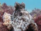 В Австралії вчені виявили «місто» восьминогів