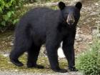 Заблукалий у лісі хлопчик розповів, що йому допоміг ведмідь