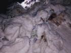 Трупи свиней з африканською чумою просто викинули на пустир у Харкові