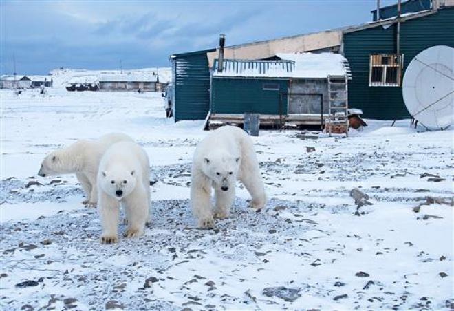 В Архангельській області нашестя білих ведмедів на населені пункти: ганяються за людьми і заходять в під′їзди - фото