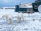 В Архангельській області нашестя білих ведмедів на населені пункти: ганяються за людьми і заходять в під′їзди
