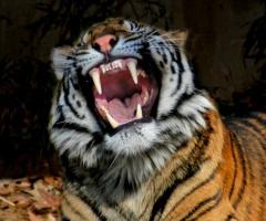 В Одесском зоопарке тигр покусал посетителя - фото