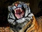 В Одесском зоопарке тигр покусал посетителя