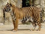 Тигр разорвал работницу зоопарка