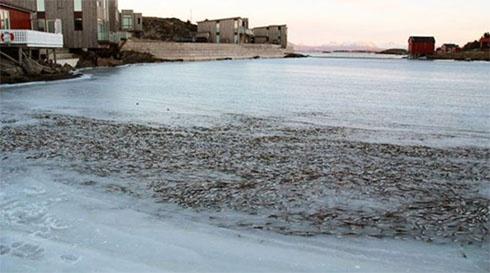 Тысячи рыб вмерзли в лед под Норвегией - фото