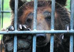 На Полтавщине медведь откусил девочке руку - фото