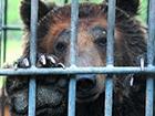 На Полтавщине медведь откусил девочке руку
