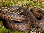 На Ивано-Франковщине участились случаи укусов людей змеями