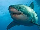 В Австралии белая акула убила дайвера
