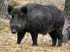 В Киевской и Житомирской областях обнаружена африканская чума свиней