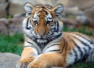Убили путинского тигренка - фото