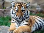 Убили путинского тигренка
