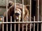 В России медведь оторвал руку пьяному (видео)