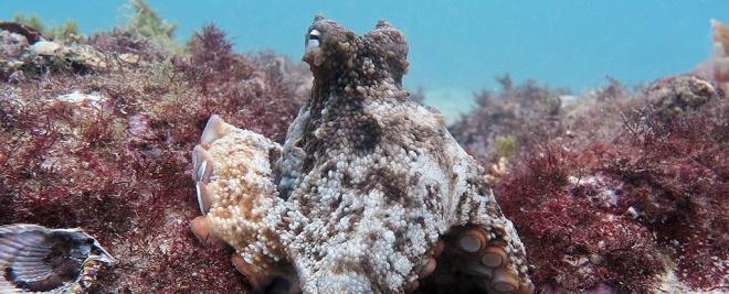 В Австралии ученые обнаружили «город» осьминогов - фото