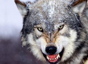 Волчица напала на жителей н.п. на Черниговщине - фото