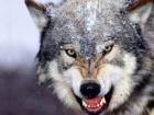 Волчица напала на жителей н.п. на Черниговщине